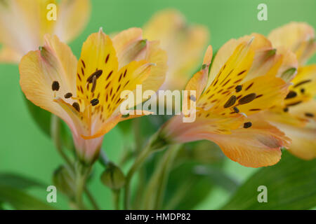 elegant yellow alstroemeria blooms - friendship and devotion in the language of flowers Jane Ann Butler Photography - Stock Image