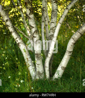 Multi-Trunked Birch Tree with Queen Anne's Lace - Stock Image