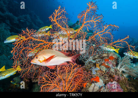 Humpback Red Snapper in Coral Reef, Lutjanus gibbus, Lissenung, New Ireland, Papua New Guinea - Stock Image