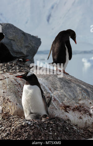 Penguins guard their chicks on nests high on a rocky shore on the Antarctic Peninsula - Stock Image