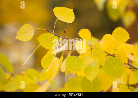Quaking aspen leaves in autumn Montana - Stock Image