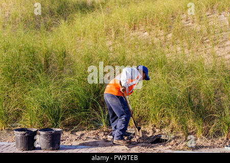 Miami Beach Florida South Beach South Pointe Park sand beach dune grass Hispanic man worker working planting shovel dig digging - Stock Image