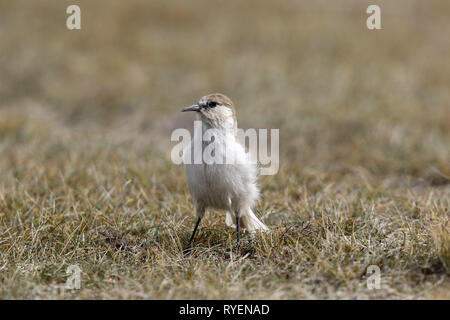 Hume's Ground Tit, Pseudopodoces humilis - Stock Image