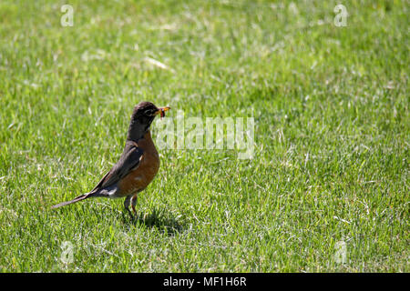 Robin with worm in beak - Stock Image