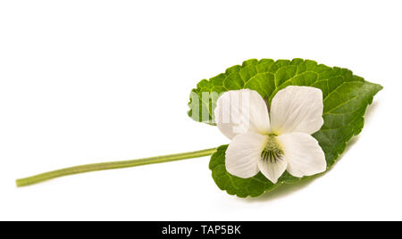 White pansy flower isolated on white - Stock Image