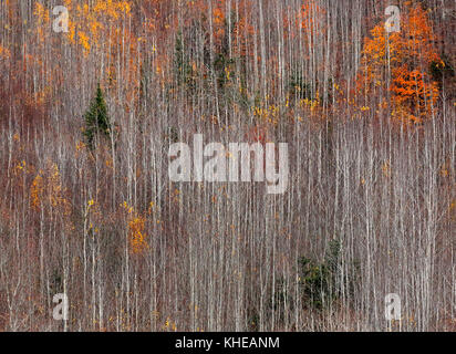 Symmetry of tall, straight trees with autumn colors. - Stock Image