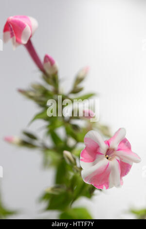 pink and white candy-striped phlox flower still life Jane Ann Butler Photography JABP1881 - Stock Image