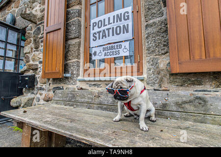 Mousehole, Cornwall, UK. 23rd May 2019. Titan the pug at Mousehole polling station - Solomon Browne Hall,  for the European Parliament elections. Credit Simon Maycock / Alamy Live News. - Stock Image