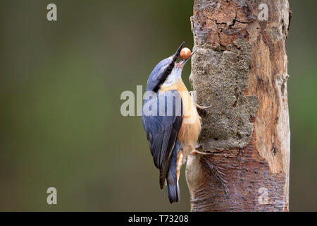 Nuthatch, Sitta europaea taking a peanut from a log bird feeder, YWT Adel Dam, Leeds, West Yorkshire, England, UK. - Stock Image