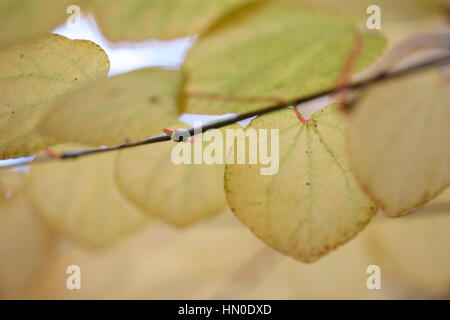Cercidiphyllum Japonicum, Katsura tree in Autumn Jane Ann Butler Photography  JABP1821 - Stock Image
