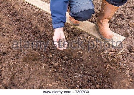 Gardener with a hand full of chicken manure pellets to add to soil - Stock Image