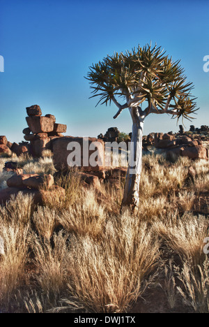 Quiver tree, Kokerboom, Aloe dichotoma, and dolerite boulders, Giant's Playground, Keetmannshoop, Namibia, West Africa - Stock Image