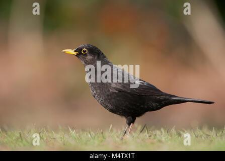male Blackbird, Eurasian Blackbird or Common Blackbird, (Turdus merula), on grass searching for worms, Regents Park, - Stock Image