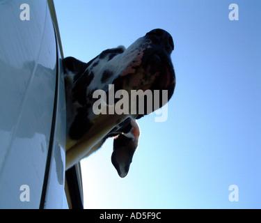 Harlequin great dane in car window - Stock Image