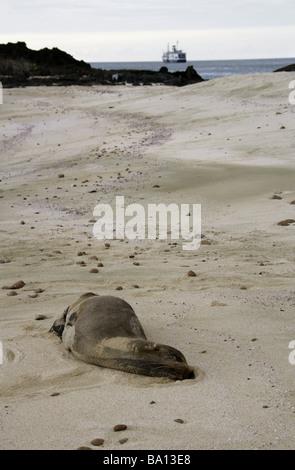 Sleeping Galapagos Sea Lion, Zalophus wollebaeki, Cerro Brujo Beach, San Cristobal Island, Galapagos Archipelago, - Stock Image