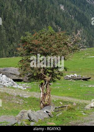 Rowan tree mountain pasture - Stock Image