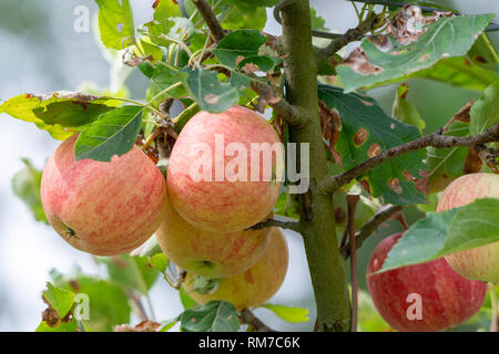 New harvest of healthy fruits, ripe sweet pink apples growing on apple tree close up - Stock Image