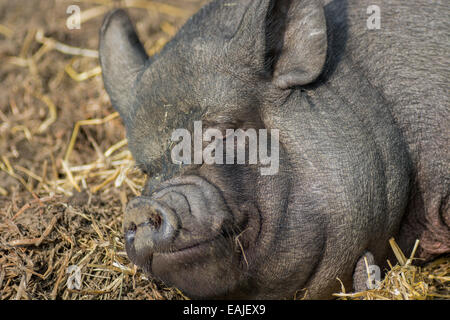 A Large Black Pig, sleeping on a pile of yellow straw during the day - Stock Image