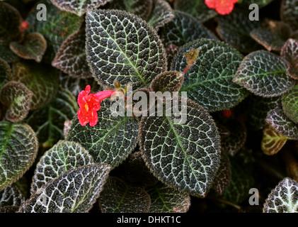 Flame Violet, Episcia cupreata, Gesneriaceae. Caribbean, Mexico, Central Americas, Northern South America, Columbia, Venezuela. - Stock Image