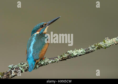 Common kingfisher (Alcedo atthis) adult female. Worcestershire, England. September. - Stock Image
