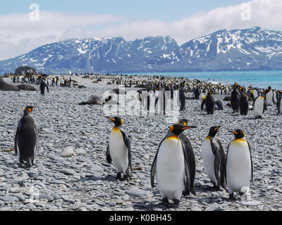 Large colony of king penguins and fur seals mixing together on rocky beach on South Georgia Island in the South Atlantic Ocean. - Stock Image
