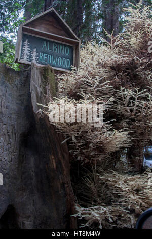 Albino redwood tree in the Fernwood Campground in Big Sur, California. - Stock Image