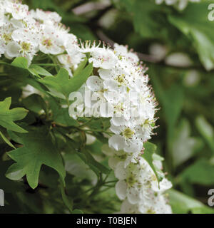 Common hawthorn crataegus monogyna shrub tree in bloom, wild white oneseed whitethorn blossom and leaves, blossoming flower heads, large detailed - Stock Image