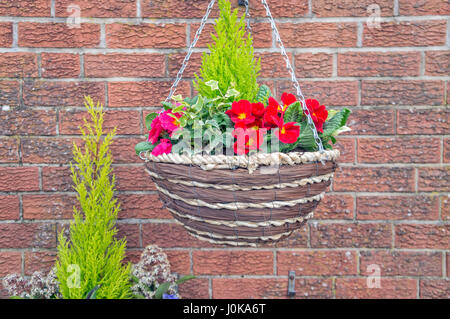 Red Pansies, Wentworth Garden Centre, Rotherham, Flowers - Stock Image