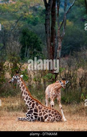 Rothschild Giraffe, Giraffa camelopardalis rothschild, mother sitting with her calf, Giraffe Manor, Nairobi, Kenya, East Africa - Stock Image