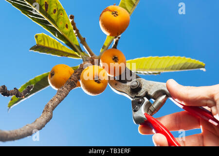 closeup of a young caucasian man collecting a loquat from a loquat tree using a pair of pruning shears - Stock Image
