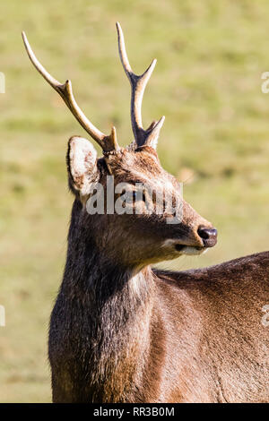 Japanese Sika Deer stag at Knole Park, Kent, UK - Stock Image