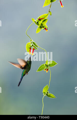 A Violet-capped Woodnymph (Thalurania glaucopis) visiting a native creeper from the Atlantic Rainforest of SE Brazil - Stock Image