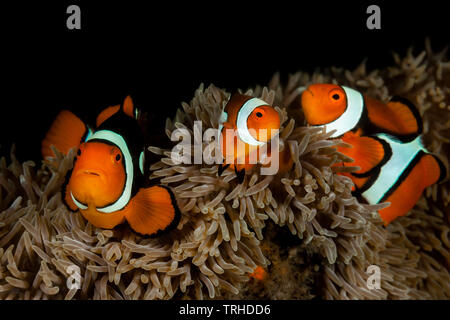 Clown Anemonefish Family, Amphiprion percula, Tufi, Solomon Sea, Papua New Guinea - Stock Image