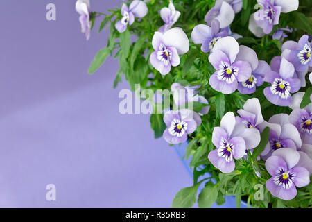 Pansy plants with lots of flowers in shades of lilac, violet and blue against a lilac colored background, copy or text space - Stock Image