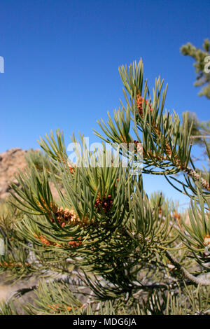 Pine branch against the blue sky - Stock Image
