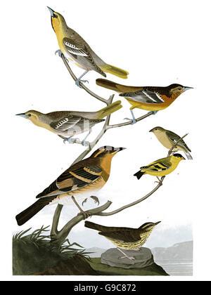 1 Northern Oriole, Icterus galbula, 2 Varied Thrush, Ixoreus nævius, 3 Lesser Goldfinch, Carduelis psaltria, - Stock Image