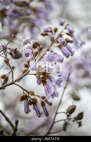 Princess Tree, Paulownia tomentosa, Purple Blossoms - Stock Image