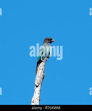 Dollarbird (Eurystomus orientalis) on a perch against a blue sky background, Cooktown, Far North Queensland, QLD, FNQ, Australia - Stock Image
