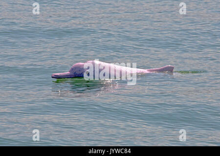 Indo-Pacific Humpback Dolphin (Sousa chinensis) in Hong Kong waters. This coastal species is subject to increasing threats from humans. - Stock Image
