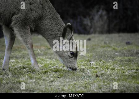 Baby Deer - Stock Image