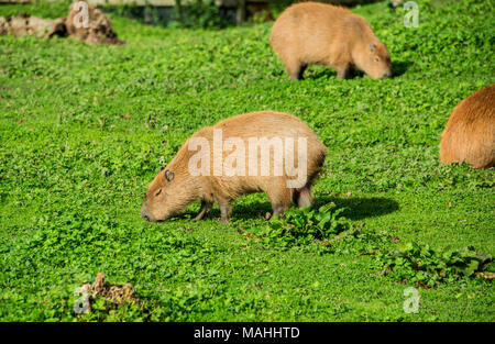 Capybara fedding on grassland - Stock Image
