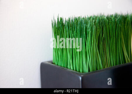 Green cat grass or fake grass plant with copy space - Stock Image