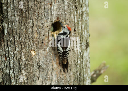 Middle spotted woodpecker, Latin name Dendrocoptes medius, at nest hole - Stock Image