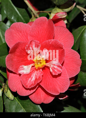 Camellia Japonica Lady McCulloch - Stock Image