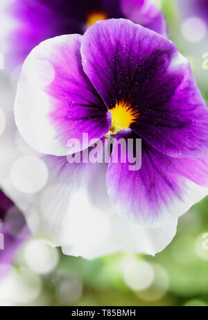 Up close macro of a purple and white Pansy with bokeh and blurred background. Selective focus on center of Viola flower. Spring and Autumn annual gard - Stock Image