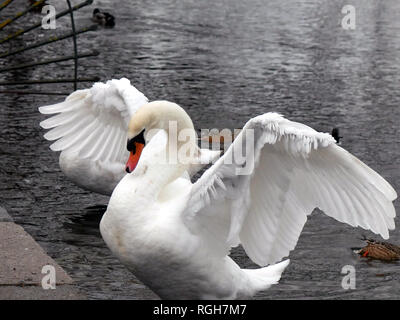 Angry mute swan - Cygnus olor flapping it's wings - Stock Image