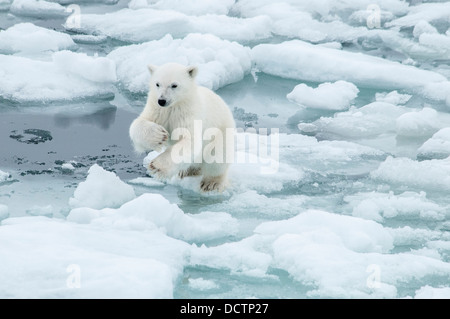 Cute Polar Bear Cub, Ursus maritimus, jumping to an ice floe on the Olgastretet Pack Ice, Svalbard Archipelago, - Stock Image