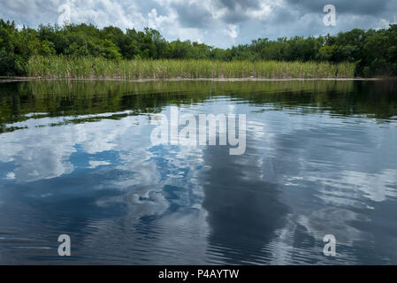Wetlands surrounded by mangrove trees ,Everglades National Park, Miami, Florida, USA - Stock Image