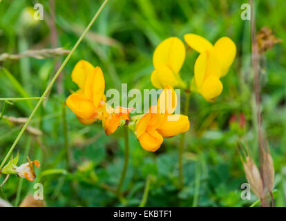 birds foot trefoil Lotus corniculatus, , Cressbrook Dale NNR Peak District National Park June 2014 - Stock Image