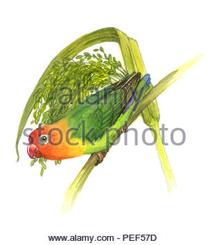 peaches agapornis fischeri - Stock Image